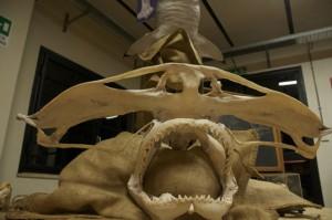 candrocranio squalo martelllo light