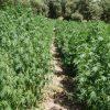 La pianta della marijuana (femminile)